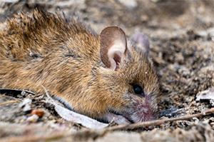 mišja mrzlica